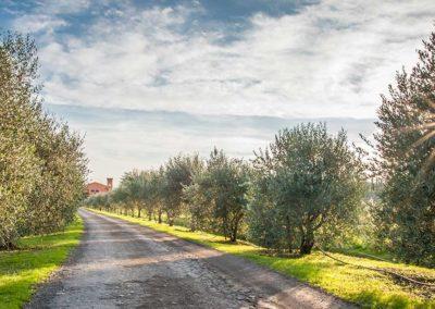 Viale-ulivi-Torre-a-Cenaia